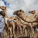 Hargeisa animal market - Somallland