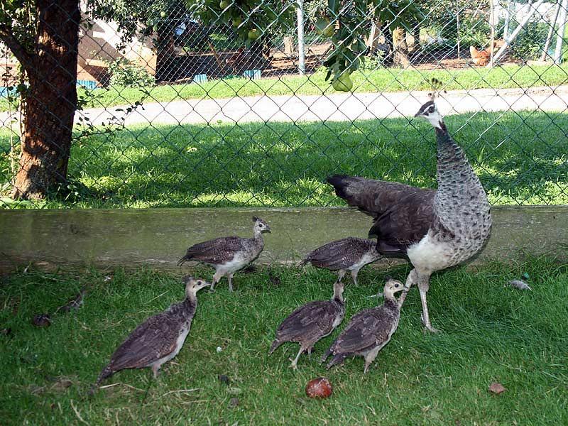 Kirschblütenhof - Pfauenfamilie