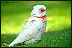Long-billed corella looking so serious ~Explored~ (Jennie Stock) Tags: ngc pest feral joondalup australianbirds longbilledcorella cacatuatenuirostris lakejoondalup avianexcellence neilhawkinspark blinkagain