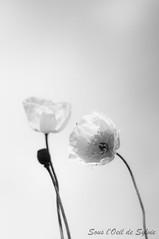Lovers (Sous l'Oeil de Sylvie) Tags: flowers blackandwhite fleurs 50mm noiretblanc pentax lovers coquelicot amoureux k7 sousloeildesylvie