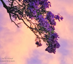 The Beautiful Jacaranda  Explored 2/12/2011 (southern_skies) Tags: flowers sunset sky tree lavender blooms jcaranda