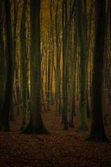 Sylvan (cнαт-ɴoιr^^) Tags: imgp94572 flora wald sylvan beechforest buchenwald herbst autumn nature nationalparkjasmund deutschlandskleinsternationalpark rügen
