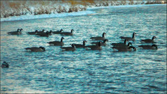 Floating In Formation (LostMyHeadache: Absolutely Free *) Tags: winter snow nature water grass birds animals river geese duck nikon waves wildlife formation shore ripples davidsmith calgaryalbertacanada