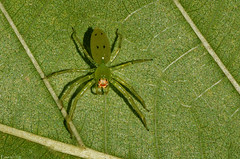 Aranha Salticidea verde (Enio Branco) Tags: macro nature spider rainforest sony natureza insects bugs scorpion thick biodiversity arachnida insetos aranha harvestmen macrophotography araoiaba aranhas macrofotografia opiliones mataatlantica mataatlntica escorpio biodiversidade aranae caro tapira sonyalpha opilio natureplus votorantim caros escorpiones opilies escorpies sonya550 eniobranco