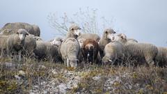 Curieuses (Le pot-ager) Tags: mouton brebis troupeau