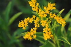 Missouri Goldenrod? (NaturalLight) Tags: park creek goldenrod missouri kansas wichita chisholm chisholmcreekpark