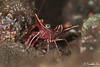 Cleaner shrimp (timso) Tags: bali nikon underwater diving scubadiving fins underwaterphotography tulamben kenko14xtc d700 nikond700 timso