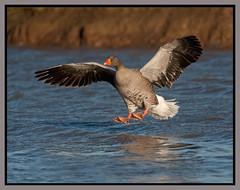 Greylag Goose (CliveDodd) Tags: waterbird goose wwt anseranser feral slimbridge wildfowl greylag