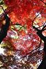 _MG_8239 (kimnovax) Tags: japan eos tokyo autumnleaves 紅葉 sanno sohopark canon24105mmf4lisusm eos500d 蘇峰公園 eoskissx3 eosrebelt1i