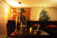 homE (saikiishiki) Tags: life christmas xmas dog love home girl beautiful lights still friend best weimaraner homey weim mukha centerpieces homy thelittledoglaughed