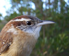 Carolina Wren (Captain Birdstrike) Tags: swan north carolina quarter wren