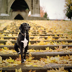 a canine in cathedral park (manyfires) Tags: park autumn dog fall film leaves animal oregon stairs mediumformat square portland golden mix labrador pointer steps stjohns canine hasselblad daisy pdx stjohnsbridge hasselblad500cm cathedralpark animalscape oneoftheverybestparks