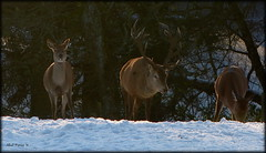 wild nature (Abel Perez) Tags: winter naturaleza nature animal scotland december nieve perthshire escocia deer highland invierno ciervo
