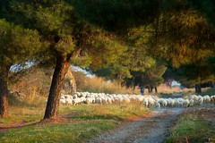 Via Appia Antica, again. (peet-astn) Tags: trees rome roma alberi sheep antica via appia viaappiaantica