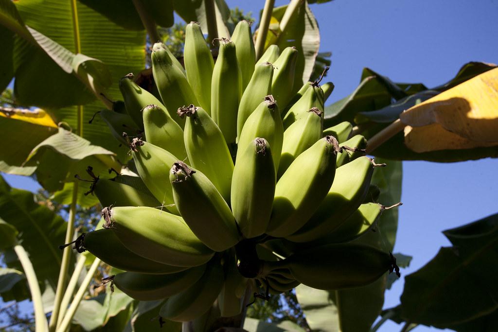 Parcelle Bananes, plantation de Manuel J. Urbina BENITES