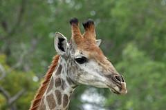 Giraffe, Mala Mala (Terathopius) Tags: southafrica giraffe kruger giraffacamelopardalis malamala giraffacamelopardalisgiraffa southafricangiraffe
