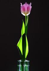 Tulip Flower in Thin Crystal Vase ( Spice (^_^)) Tags: pink black flower color macro green leaves japan canon geotagged eos stem flora asia december crystal blogger fresh petal livejournal tulip vase  5d backlit    facebook  flowervase   2011   twitter crystalvase saitamaprefecture tumblr  ledbacklight     mark   kasukabecity  gettyimagesjapan12q1