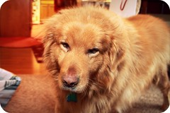 Sir Rudy the Lion-hearted (writemeg) Tags: dog pet goldenretriever furry rudy whiskers sleepy upclose mydog dogexpressions
