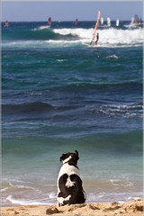 Waiting for his Best Friend (Straublund1) Tags: dog beach hawaii waiting maui master windsurfer patience concern