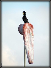 Karabatak Kuu / Black and White / The cormorant (Kor@y) Tags: sky bird fly shot wind cormorant capture blackbird kory koray