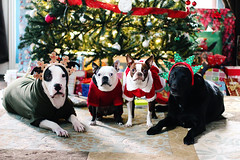 Merry Christmas! (alwaysgenevieve) Tags: christmas dog pet holiday cute animal bostonterrier costume funny december texas pitbull presents clementine hogwarts onyx nox 2011 mrsclause dogincostume redbostonterrier
