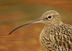 Curlew - BEST VIEWED LARGE (Alex Berryman) Tags: curlew