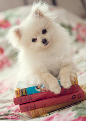 My books? ({amanda too}) Tags: dog macro cute vintage puppy pom adorable naturallight books 100mm pomeranian puffball pomeranians koda amandakeeysphotography