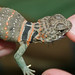 Juvenile Eastern Collared Lizard