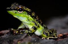 Black-spotted Rock Frog (Stuarois natator) Bako National Park, Sararwak, Borneo (Dan Bernard 131 Design) Tags: travel photography wildlife sarawak boreno