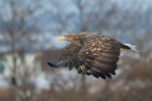 White Tailed Eagle - Downstream at Yakumo........