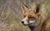 Lovely Fox .... (Alex Verweij) Tags: winter wild nature beauty grass canon niceshot looking close natuur fox 7d gras portret foxes duinen awd vos reinier dichtbij helmgras 28dec abigfave reintje alexverweij 2oomm dragondaggeraward mygearandme 28122011