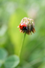 happy 2012! (next_in_line) Tags: blur flower ladybug clover