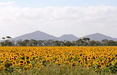 Sunflowers You Yangs (Ness Brady) Tags: flowers trees field rural landscape country australia victoria hills sunflowers sunflower youyangs