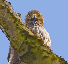 M,Hawk feeling chatty,. (John Mac Giolla Phdraig Leisen) Tags: pictures california leica wild fish newyork bird nature canon photography nikon hawk conservation wyoming devlin environmentalscience fitzpatrick migrate frame11 jackleisen johnfitzpatrickleisen httpwwwflickrcomphotosjackleisen jackleisengmailcom httpwwwyoutubecomjackleisen adirondackmammalsenvironmentalscience lauriesigel adirondackmammals onlywildanimals