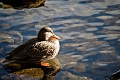 Duck (Yann Tastayre) Tags: ontario canada bird nature animal closeup burlington canon rebel duck lasalle xs 56 250mm