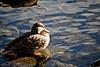 Duck (Yann Tastayre) Tags: ontario canada bird nature animal closeup burlington canon rebel duck lasalle xs 56 250mm