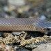 Flathead Snake