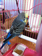blue bird yellow budgerigar rescued