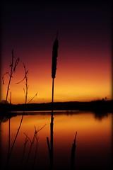 Bullrush (JHHALL2010.) Tags: uk winter england sky nature water silhouette sunrise landscape colours preston brockholes