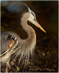 Wrdemann's Heron (Michael Pancier Photography) Tags: heron birds florida birding wako greatblueheron delraybeach wakodahatcheewetlands whitemorph commercialphotography naturephotographer floridabirds michaelpancierphotography avianphotography landscapephotographer avianphotographer fineartphotographer canoneos7d michaelapancier birdperfect wwwmichaelpancierphotographycom wrdemannheron