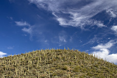 Saguaros and a Bright Blue Sky (Melissa Hincha-Ownby) Tags: blue arizona cactus sky clouds desert wilderness saguaro sonoran superstitions superstitionmountains rogerstrough fs172