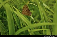 Wings Eyes (dptro) Tags: green butterfly garden wings dof bokeh pov leafs antenna proboscis nikond300s