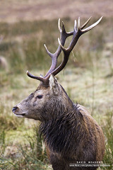 Stag Profile (DMeadows) Tags: wild nature wet rain animal mammal scotland stag natural glen deer antlers highland glencoe wilderness soaked etive tamronaf55200mmf456diiild davidmeadows dmeadows yahoo:yourpictures=yourbestphotoof2012