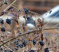 DSC_0425 (rachidH) Tags: nature birds junco nj sparta oiseaux darkeyedjunco juncohyemalis juncoardoisé rachidh