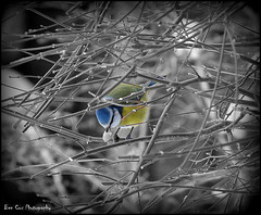 Blue tit, Berkhamsted. (Ben Cox Photography) Tags: winter bw snow garden eating branches bluetit