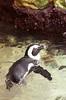 Swimming Penguin (Lauren Barkume) Tags: africa vacation animal rock swimming southafrica penguin december ct capetown jackass westerncape 2011 laurenbarkume gettyimagesmeandafrica1