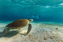 turtle and snorkelers (wild friday) Tags: nature underwater turtle redsea diving snorkeling tartaruga bluelagoon marsaalam freedive sgualdini
