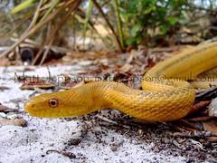 Yellow Ratsnake - Cane Fields (clwstn) 1-13-09 (bottle) cropcol (Matt Jeppson) Tags: