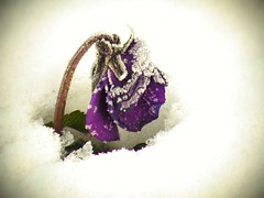 a little pansy in the snow (yukkbie) Tags: winter white snow flower japan purple pansy violet    ricoh cx4