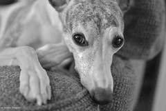 I only have eyes for you (Rex Montalban Photography) Tags: portrait bw dog whippet ripley 35mmf18 rexmontalbanphotography